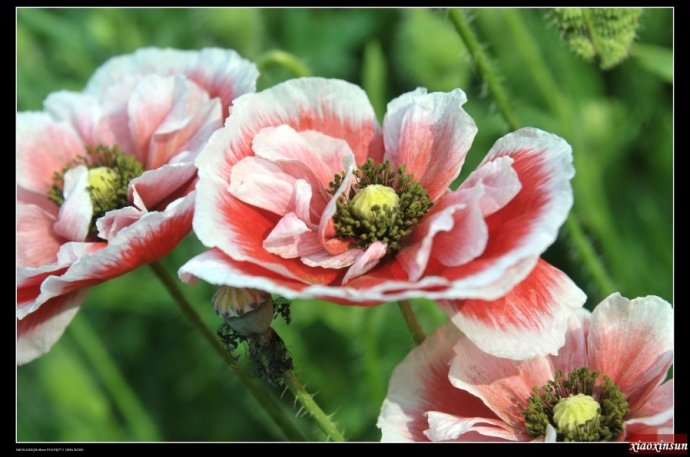 虞美人和罂粟同属一科,从外形上看,虞美人和罂粟很相似,但实际上