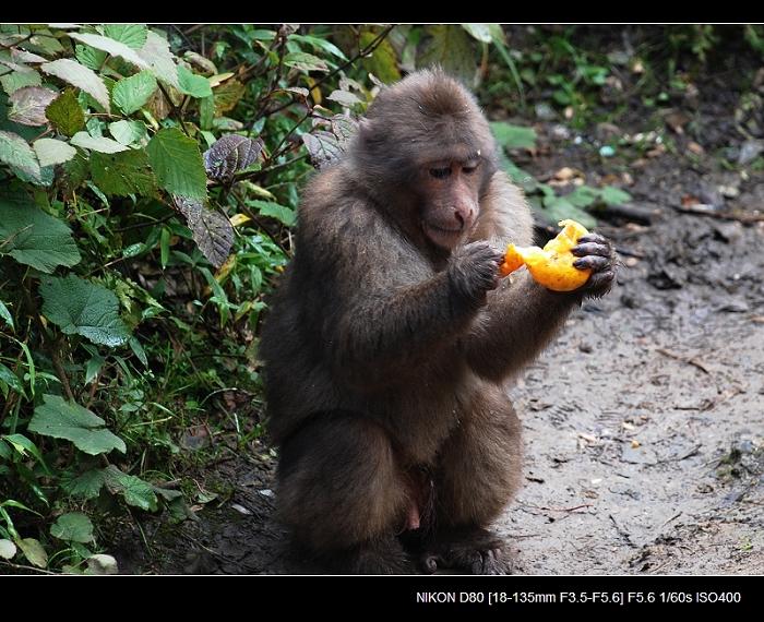 猴哥 - 西樱 - 走马观景