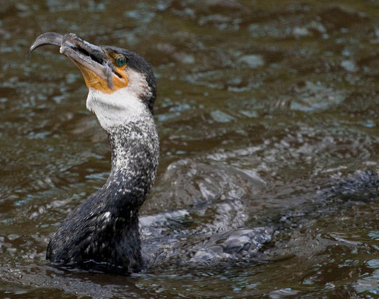 爱尔兰摄影师抓拍鸬鹚吞食大黄鳝瞬间 - 双丰收 - 双丰收的博客后院