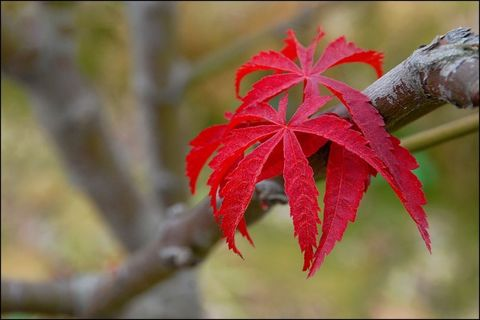 红 叶 - 深山红叶 - 深山紅葉