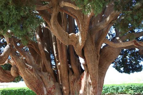 塞意阿巴库树