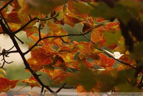〖原创摄影〗枫叶红了 - 妙心吉祥 - 妙心吉祥 网易博客