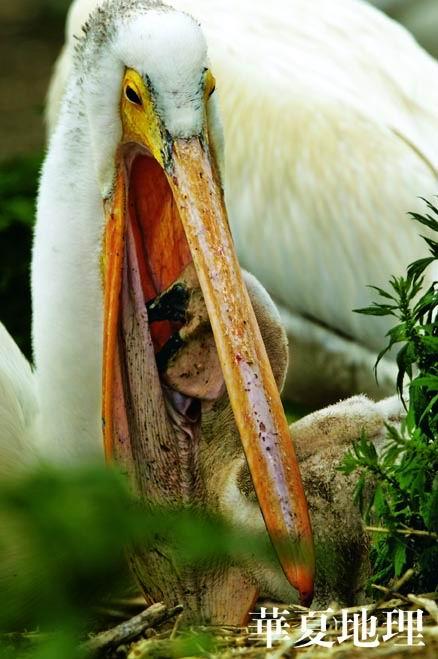 《华夏地理》2006年6月——美洲白鹈鹕 - 华夏地理 - 华夏地理的博客