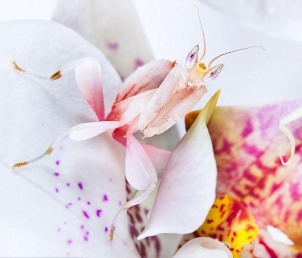 一只马来西亚兰花螳螂与身边的花丛完美融合在一起,它在耐心等待猎物自动送上门来