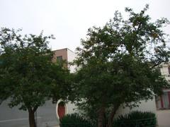 两棵石榴树(原创) - 留住时光 - 留住时光