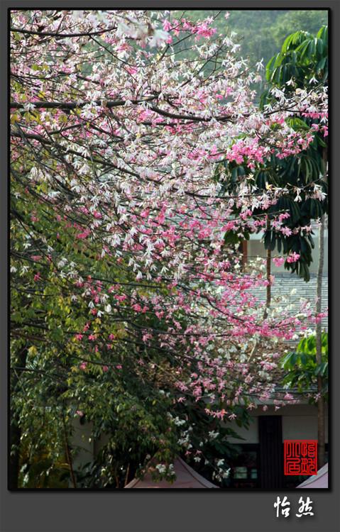 这里的樱花正烂漫 - 怡然 - 怡然小居