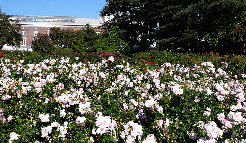 加州阳光(十八)___玫瑰园 - 西樱 - 走马观景