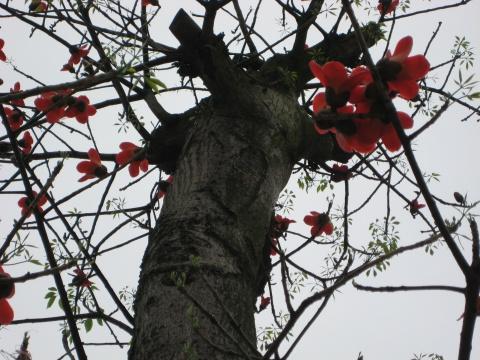 原创散文:这一株木棉树