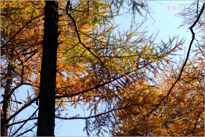 [原创]崂山——秋天的落叶松 - 迁徙的鸟 - 迁徙鸟儿的湿地