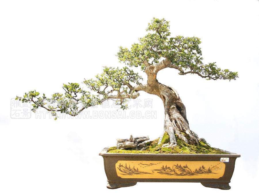 盆景中的精品 - 金元宝 - 金元宝博客