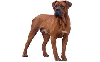 【图文】世界上10种最凶猛的狗 - 风语无言 - 风语无言的博客