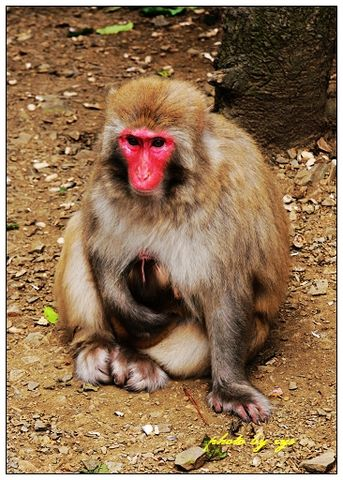 [原创]动物王国(02)猴族《》 - 自由诗 - 人文历史自然 诗词曲赋杂谈