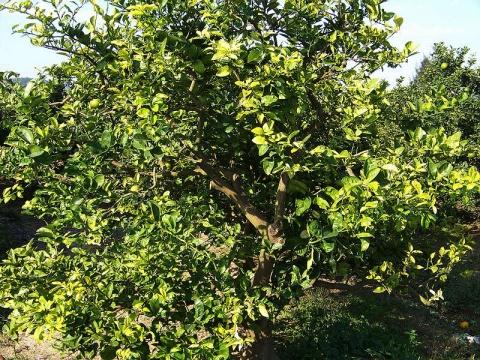 温岭高橙黄龙病课题第二次取样 - 清扬 - 花果飘香