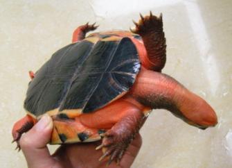 三线闭壳龟(金钱龟)群种类的区别 - 凉风有俊 - 凉风有俊的博客