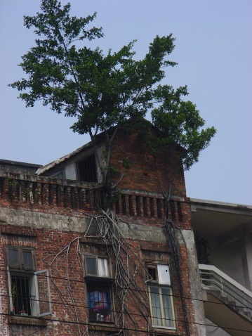 【原创摄影】广州探秘·最牛的寄生榕树·被铲掉了 - 心旷神怡 - 心旷神怡