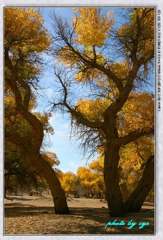 秘境西域09四道桥胡杨林《天净沙.胡杨泪》 - 自由诗 - 人文历史自然 诗词曲赋杂谈