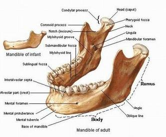 2007年10月22日●下齿槽神经(inferior alveolar nerve block anaesthesia)麻醉动画