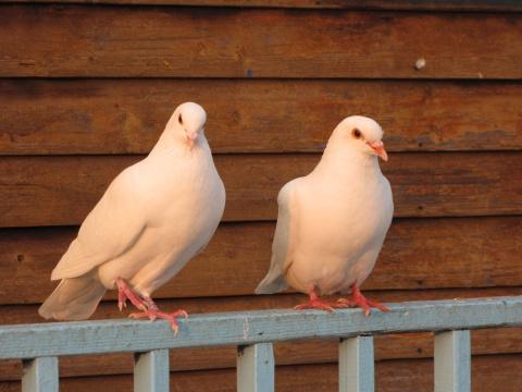鸽子 - 木头人 - sampson827的博客