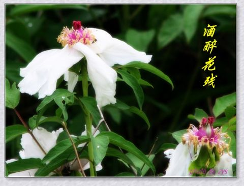 酒醉花残寂寞人[原] - 自由诗 - 人文历史自然 诗词曲赋杂谈