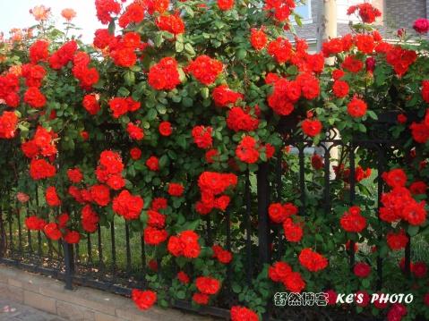 【转载】 【原创】 开满月季的路上 (摄影)  - 蔷薇玫瑰秋秋 - 蔷薇玫瑰秋秋-张建秋