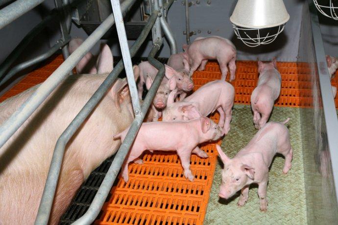 揭示一头猪的从生到死,又如何成为人类口中食(组图)