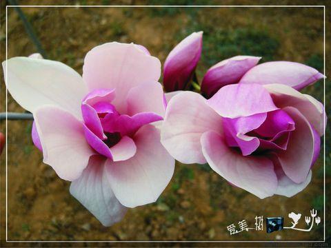 (原创摄影)玉兰花开  - dlmtkly - 爱美树:在光影里寻觅······