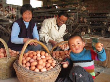 著博士  看产蛋情况 - 著博士--动物疫病防控专家 - 中国(驰骋)动物保健品贸易行