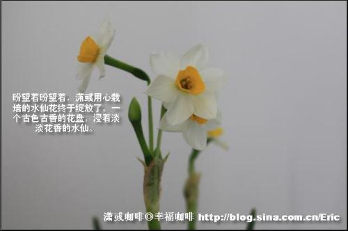 年年春晚,为何总是水仙花相伴? - 潇彧 - 潇彧咖啡-幸福咖啡