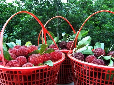 '黑晶'等4个杨梅品种的光合特性研究 - 清扬 - 花果飘香
