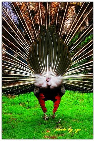 [原创]动物王国(03)孔雀《回首孔雀》 - 自由诗 - 人文历史自然 诗词曲赋杂谈