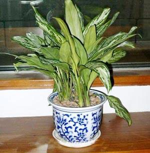 室内吸毒植物大集合  - 米妞儿 - dnml89@126 的博客