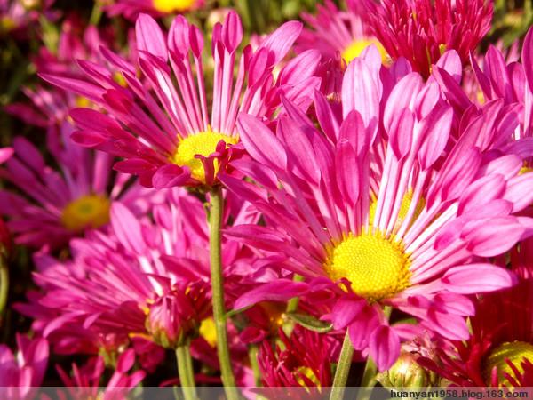 秋菊争艳 - 欢颜 - 欢颜的博客