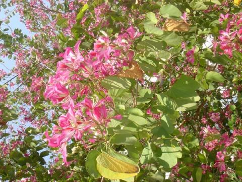 那满树的紫荆花 - 水中树 - 一棵长在水中的树