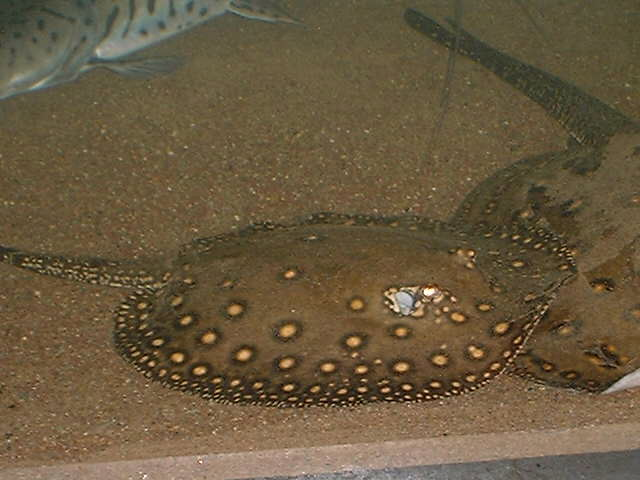 -----野生珍珠魟------ - x-999 - 牧 鱼 水 族