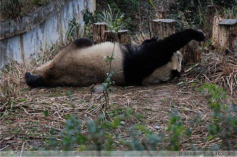 熊猫人和团团圆圆说再见! - 赵半狄 - 熊猫艺术家赵半狄的博客