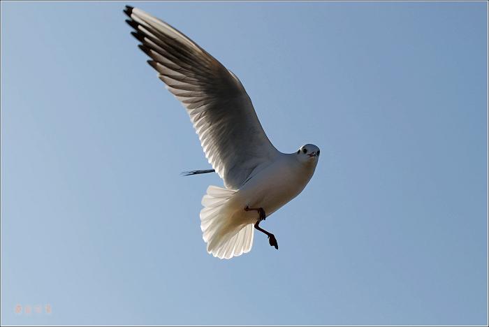 [原创]鸟影09海鸥——追逐太阳 - 迁徙的鸟 - 迁徙鸟儿的湿地