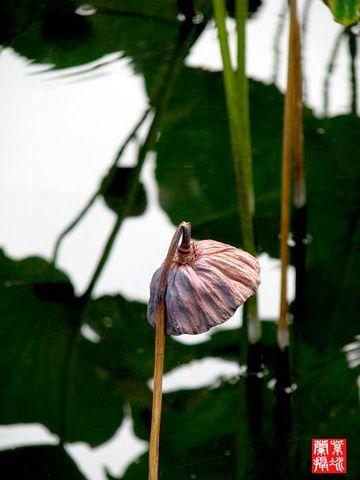 灵感。赋诗词 - 紫冰兰 - 莲心苑。紫冰兰