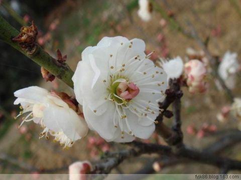 诗歌:春梅 - 草根 - 草根馨园