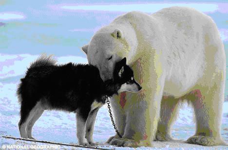 ——野生北极熊与狗玩耍 - 陶陶樂 - 陶陶樂的博客