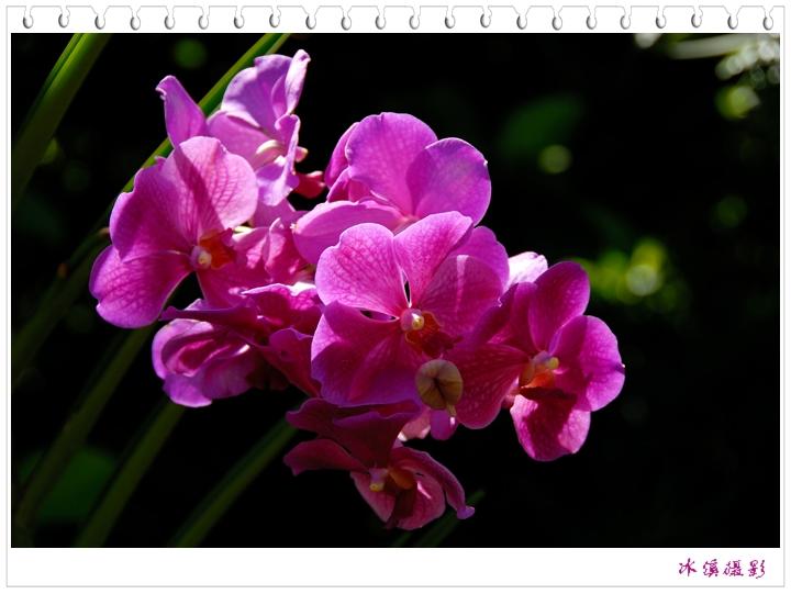 拜年 - 木槿 - 木槿花开