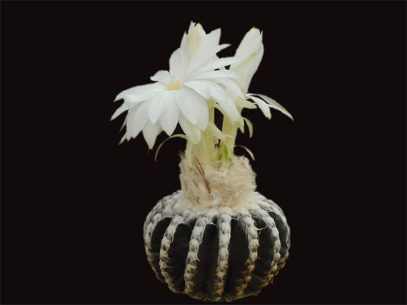 花中极品,太漂亮了 - 海之韵 - 海之韵的博客