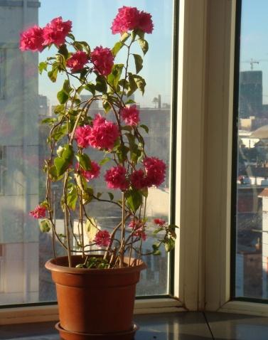 【七律 三角梅 】和皮润清 小草 - 一掬茗香 - 一掬茗香的博客
