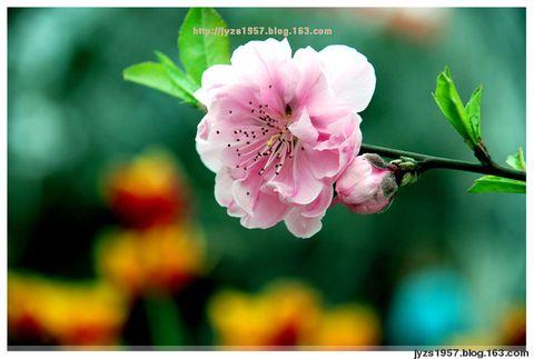 (雪花)三月桃花:飞天共醉 伊人添香 - 雪花芙蓉 - 宠若幽静
