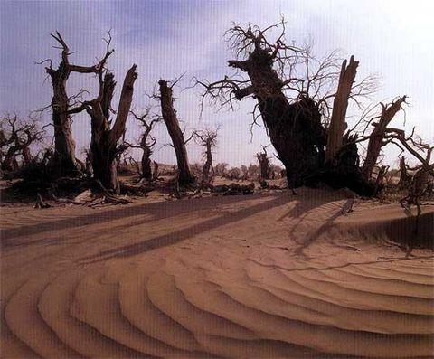 漠里胡杨(原创) - 木头格子 - 下营街三十八号