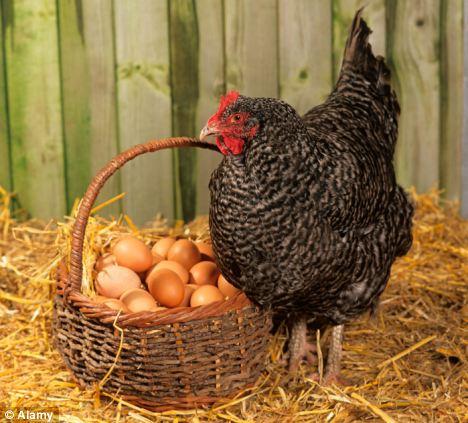英国科学家称研究发现先有鸡后有蛋(图)