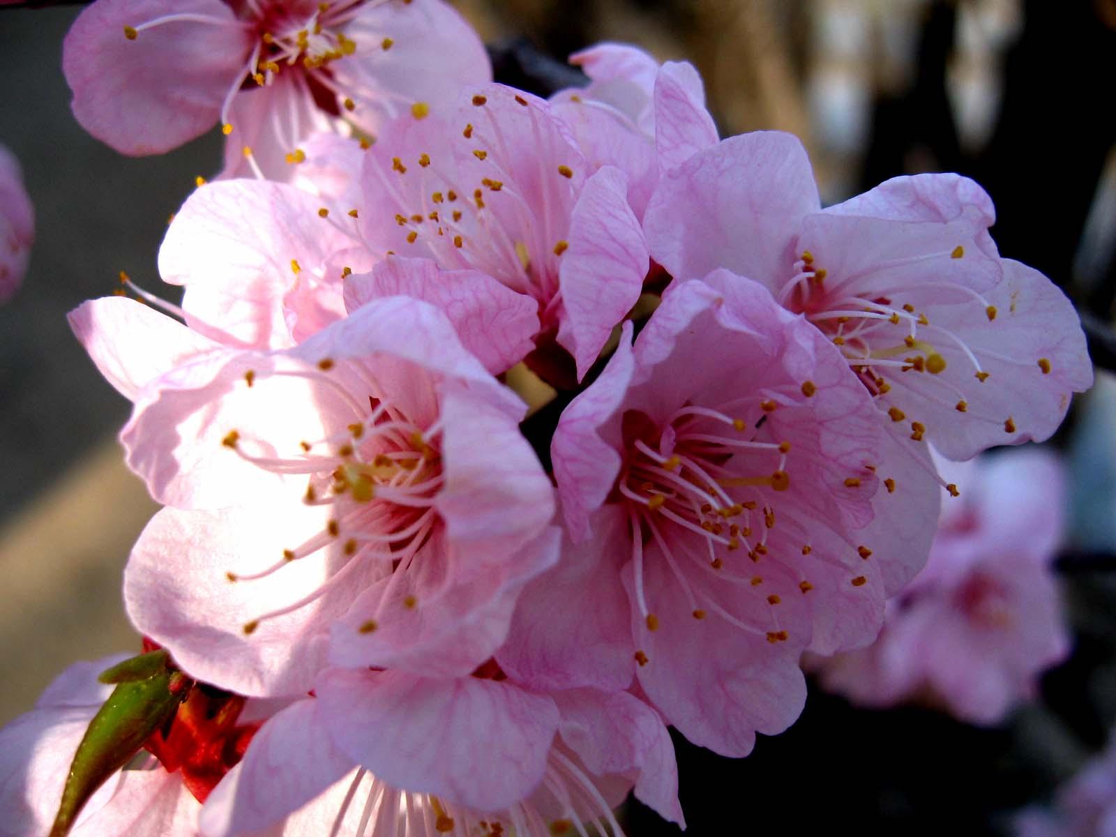 故乡美丽的山杏花(八幅) - 无公害老玉米 - 无公害老玉米的博客