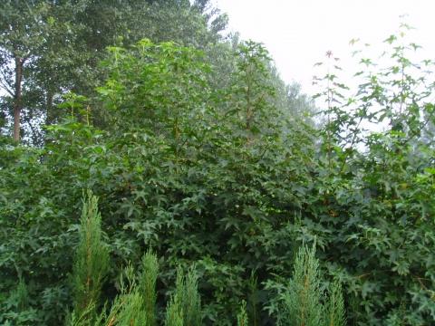 2008年板桥水库旁的北美枫香树 - pfspfs666.popo - 反三的博客