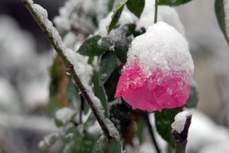 雪中蔷薇   08.01.29