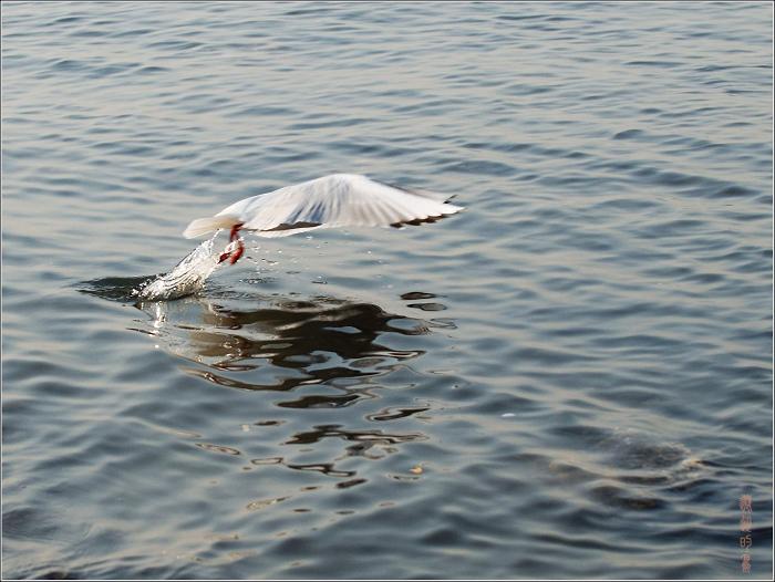 [原创]鸟影07海鸥——飞行靓影 - 迁徙的鸟 - 迁徙鸟儿的湿地