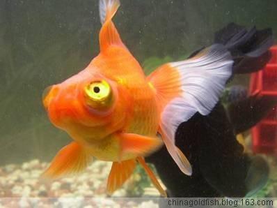 金鱼的分类介绍(龙背种金鱼篇)---大苏打 - 大苏打 - 中国金鱼